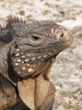 The Cuban rock iguana (Cyclura nubila), also known as the Cuban ground iguana or Cuban iguana.