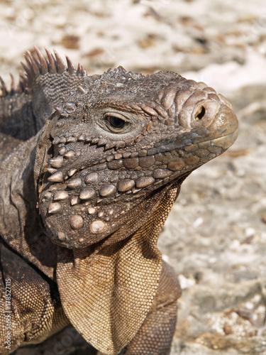 Plagát The Cuban rock iguana (Cyclura nubila), also known as the Cuban ground iguana or Cuban iguana