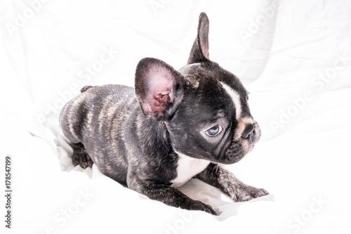 Black Brindle French Bulldog Puppy Buy Photos Ap Images Detailview