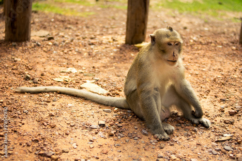 Aluminium Aap Golden hairy monkey with bloody face with sad eyes,Monkey is injured.