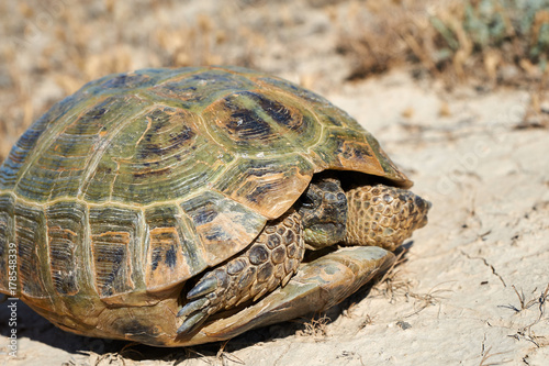 Fotobehang Schildpad The desert tortoise. The desert tortoises live about 50 to 80 years; they grow slowly and generally have low reproductive rates. They spend most of their time in burrows, rock shelters, and pallets to