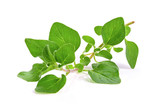 fresh oregano herb on white background - 178550546