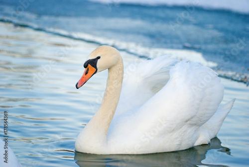 Fotobehang Zwaan Swan in winter lacke