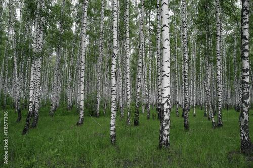 Plexiglas Berkenbos Birches forest