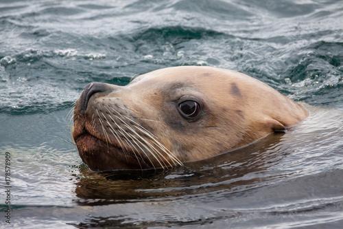 Foto Murales Robbe Seelöwe schwimmt im Meer. Fotografiert als Portrait.