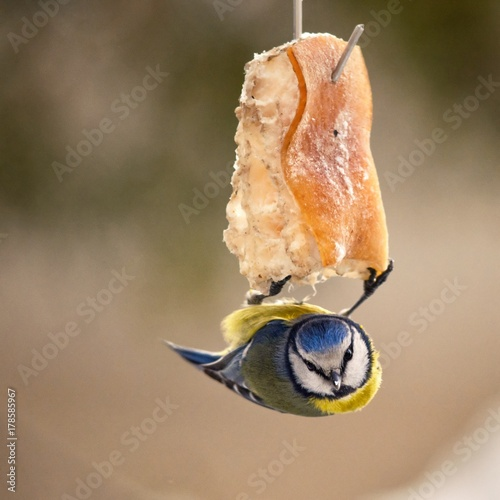 Blue tit hanging upside down on a piece of bacon Poster