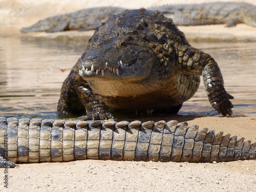 Fotobehang Schildpad Crocodiles du Nil au maroc