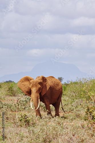 Elefanten im Tsavo Ost Kenia Poster