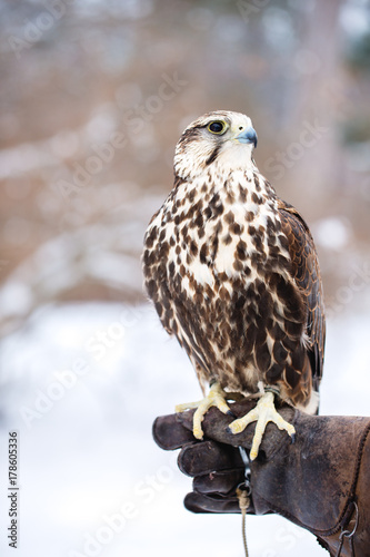 Falcon sits on a gloved hand Poster