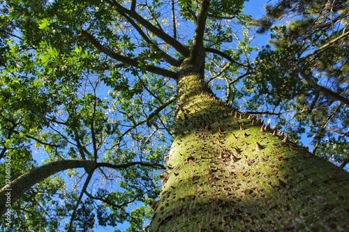 Aluminium Baobab Ceiba speciosa trunk