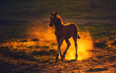 A young brown foal running on the field, raising the dust on the background of sunset.