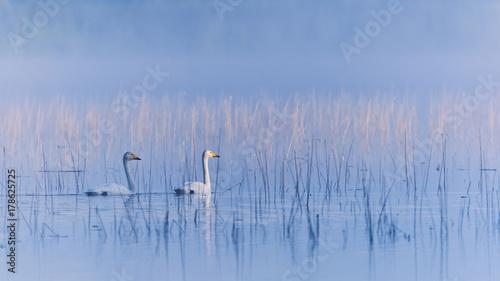 Fotobehang Zwaan Two swhooper swans