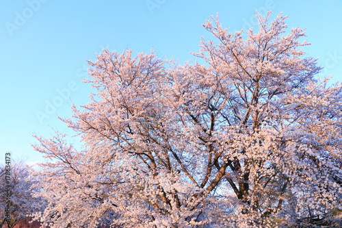 Fotobehang Lichtroze 桜