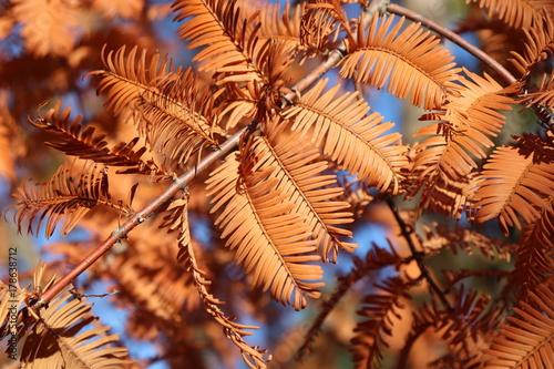 Poster Oranje eclat Autumn leaves of dawn redwood,Metasequoia
