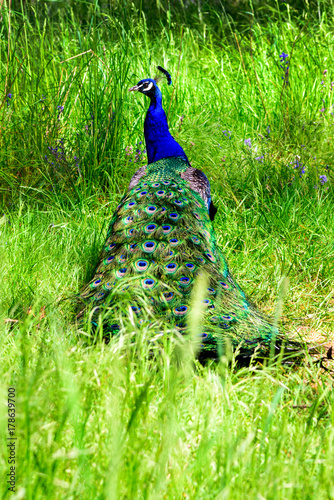 Fotobehang Pauw Portrait of beautiful peacock