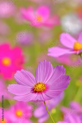 Fotobehang Purper コスモスの花