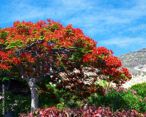 Tuinposter Canarische Eilanden Beautiful view with blooming Flamboyant tree (Royal Poinciana,Flame tree) inTorviscas Alto,Costa Adeje,Tenerife,Canary Islands,Spain.