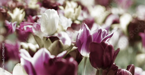 Fotobehang Tulpen tinted tulips concept