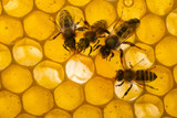 bess on beecombs with honey in the detail - a macro photo - 178681568