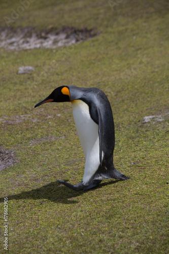 Fotobehang Pinguin Königspinguine auf den Falklandinseln