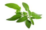 fresh  sage sprig - 178684939