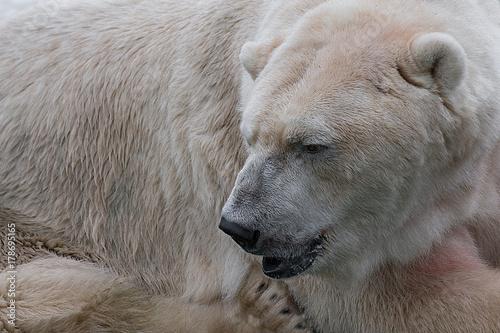 Aluminium Ijsbeer A very close photograph of a polar bear