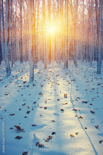 Foto Murales  Winter forest  in snow