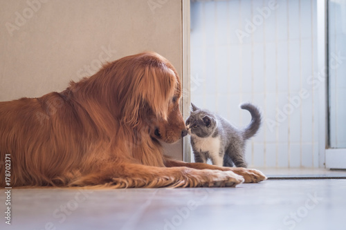 Plakat Golden Retriever and British shorthair cat