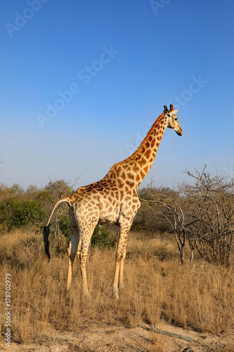 Healthy giraffe in South Africa. Poster