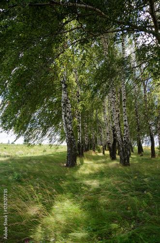 Papiers peints Bosquet de bouleaux Beautiful summer scene with birch grove