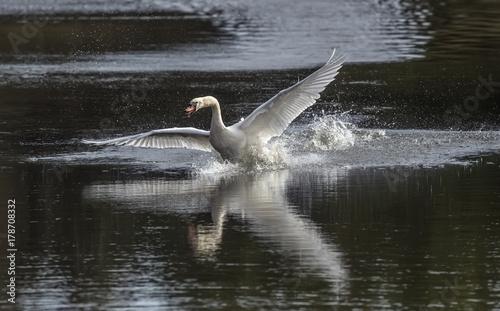 Fotobehang Zwaan Mute Swan flying across a pond, close up