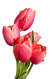 Tulips, flowers isolated on a white background