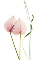 flor anturium con fondo blanco