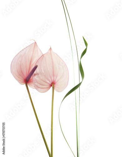 Fototapeta flor anturium con fondo blanco