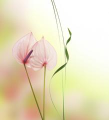 flor anturium con fondo de color