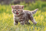 Young cute cat meowing in grass - 178715757