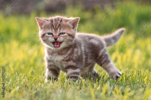 Young cute cat meowing in grass Poster