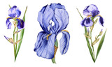 Iris flower. Isolated on white background.