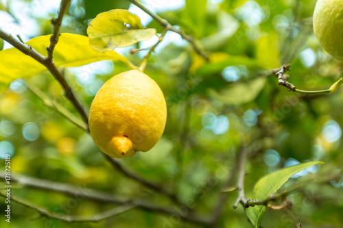 closeup of lemon on a tree