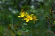 Perforate St John s wort. Hypericum perforatum macro flowering plant