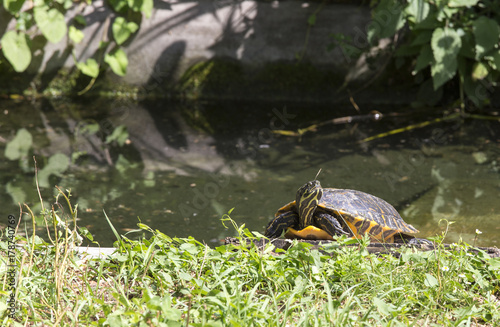 Freshwater american turtle in Europe Poster