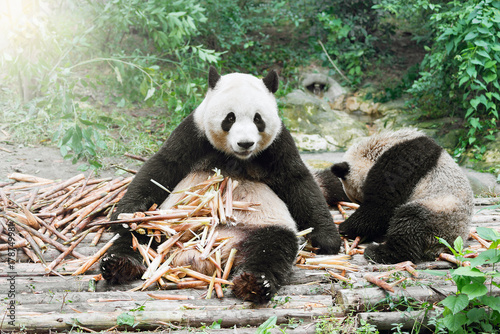 Fotobehang Panda Giant Panda eats bamboo.