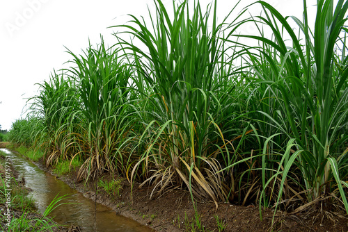Foto op Canvas Groene Sugarcane in nature