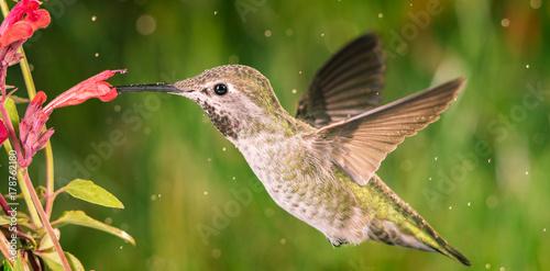 Hummingbird odwiedza anyż hizop