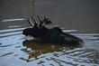 Moose Swiming