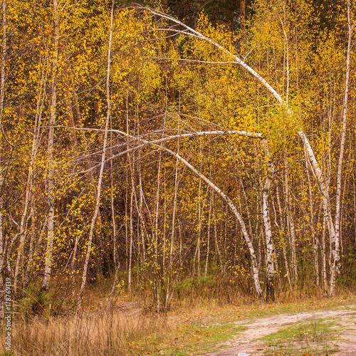 Papiers peints Bosquet de bouleaux young thin birches are bent by the wind