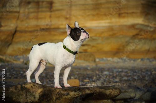 Fotobehang Franse bulldog Piebald French Bulldog outdoor portrait against bluffs