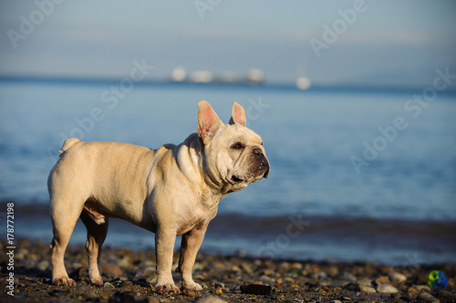Foto op Canvas Franse bulldog Cream French Bulldog standing on ocean shore