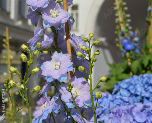 Fotobehang Hydrangea Lilac delphinium blooming in urban flower bed with hydrangea