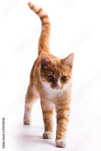 walking red cat Poster